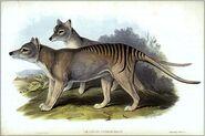 Thylacinus cynocephalus gould-mr bzqs5zg