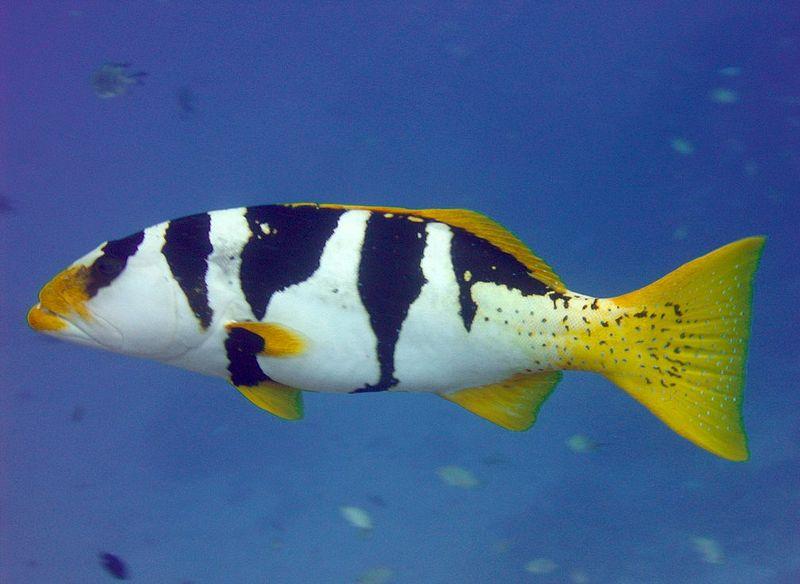 Blacksaddled Coralgrouper