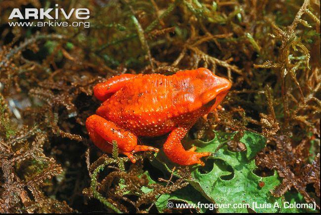 Guanujo Stubfoot Toad