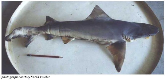 Borneo River Shark
