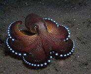 Octopus Standard-1