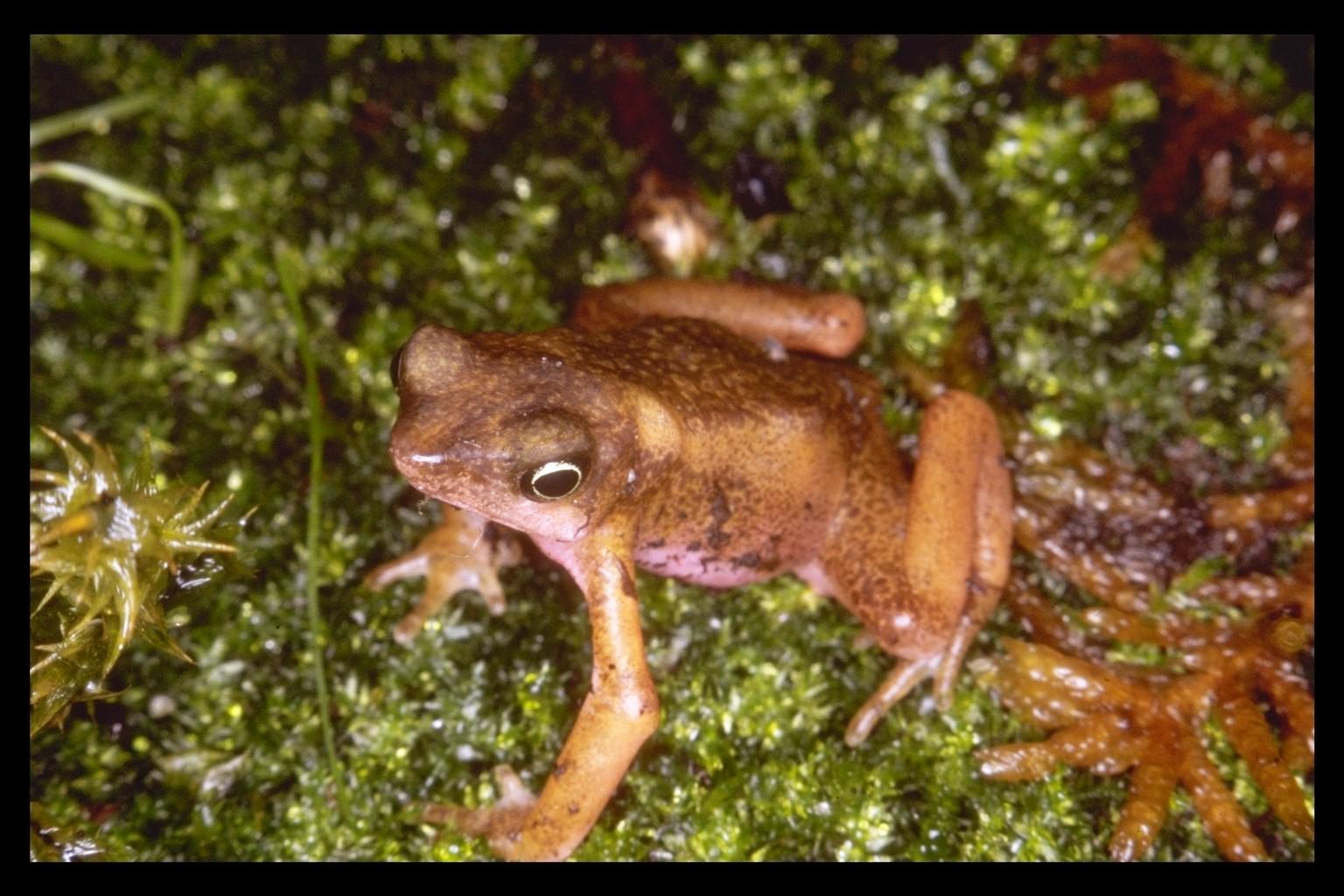 Cayenne Stubfoot Toad