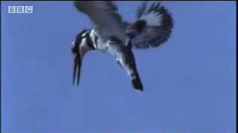 Pied Kingfisher catching fish in split second - BBC wildlife