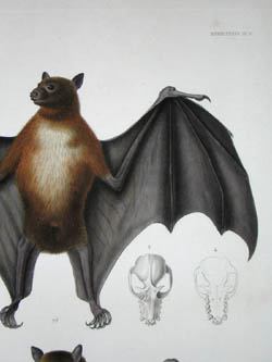 Chuuk Flying Fox