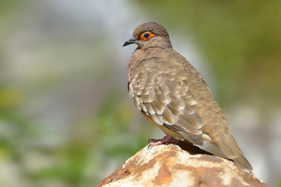 Bare-faced Ground Dove