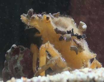 Little Seaweed Crab