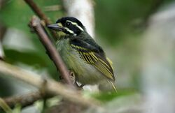Gab-0637-vogels-Yellow-throated Tinkerbird-LangoueBai2.jpg