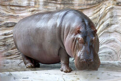 Common Hippopotamus.jpg