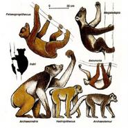 Giant Lemurs illustration