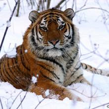 Tigre siberiano 10.png