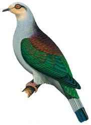 Mindoro Imperial Pigeon