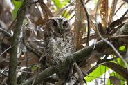 Bornean Rajah scops owl (Otus brookii brookii)