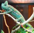 Veiled chameleon, Female.jpg