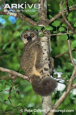 Western-woolly-lemur-in-tree.jpg