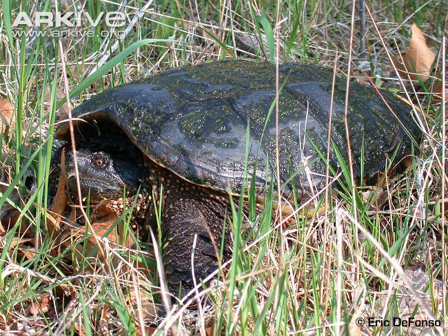 Central American Snapping Turtle