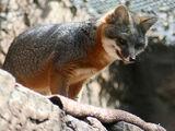 Cozumel Fox