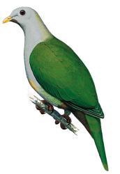Banggai Fruit Dove