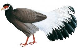 Brown Eared Pheasant