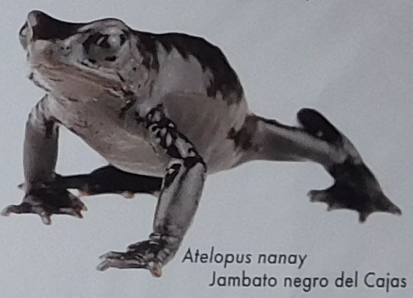 Atelopus Nanay