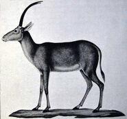 Le Vaillant blue buck