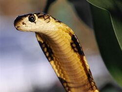 King Cobra Close.jpg