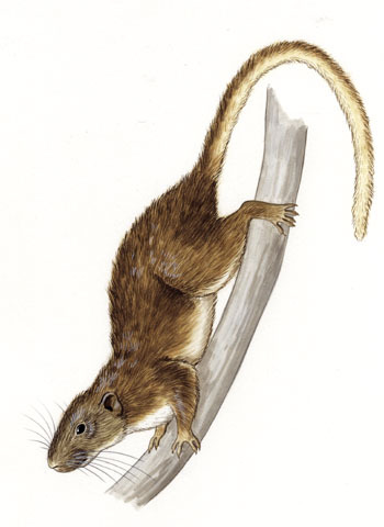 Atlantic Bamboo Rat