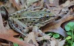 Rana kauffeldi-leopard-frog-NYC.png