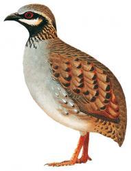 White-cheeked Partridge