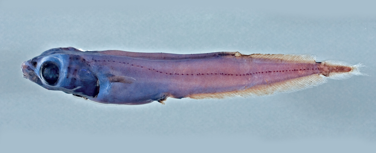 Eel Smooth-head