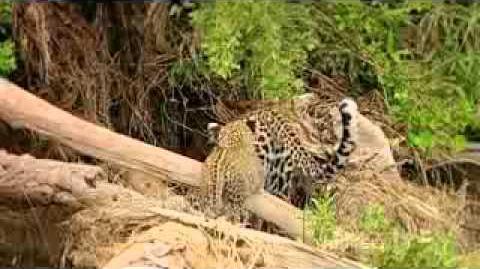 Revealing_the_leopard