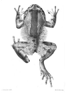 TrichobatrachusGreen.jpg
