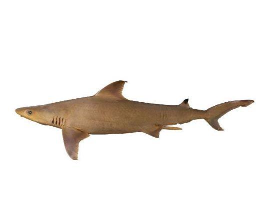 Human's Whaler Shark