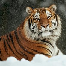 Tigre siberiano.png