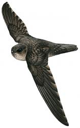 Bare-legged Swiftlet