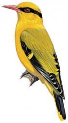 Slender-billed Oriole