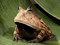 Amazonhornedfrog.jpg