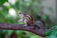 Indian Palm Squirrel-1