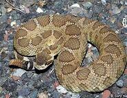Northern Pacific Rattlesnake-1