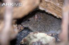 Galápagos Rice Rat
