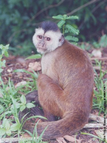 Kaapori Capuchin