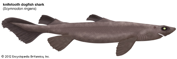 Knifetooth Dogfish