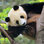 Giant Panda in a Tree.jpg