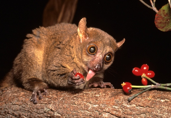Northern Giant Mouse Lemur