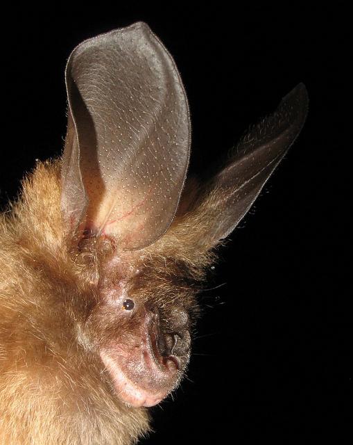 Bate's Slit-faced Bat