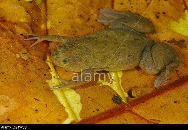 De Witte's Clawed Frog