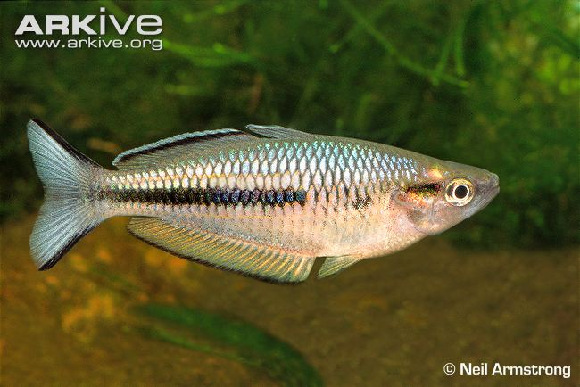 Arfak Rainbowfish