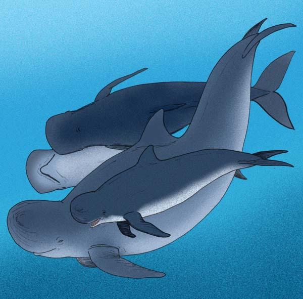 Hoekman's Blunt-snouted Dolphin