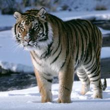 Tigre siberiano 1.png