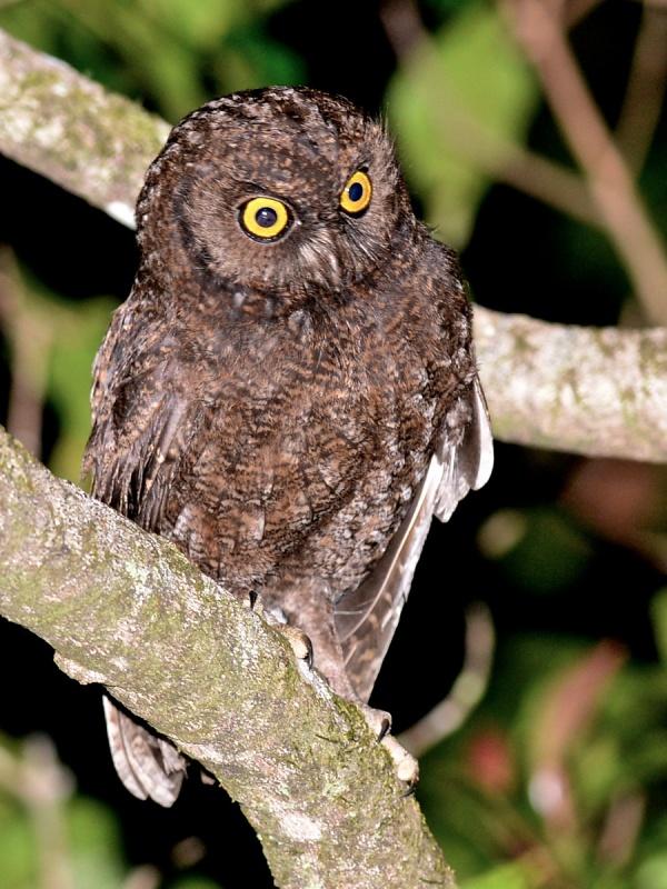 Anjouan Scops Owl