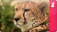 Bindi & Robert Irwin feature - Cheetahs (William) - Growing Up Wild